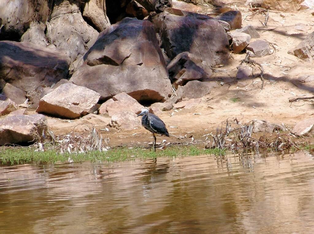White-necked Heron (Ardea pacifica), Ormiston Gorge, NT