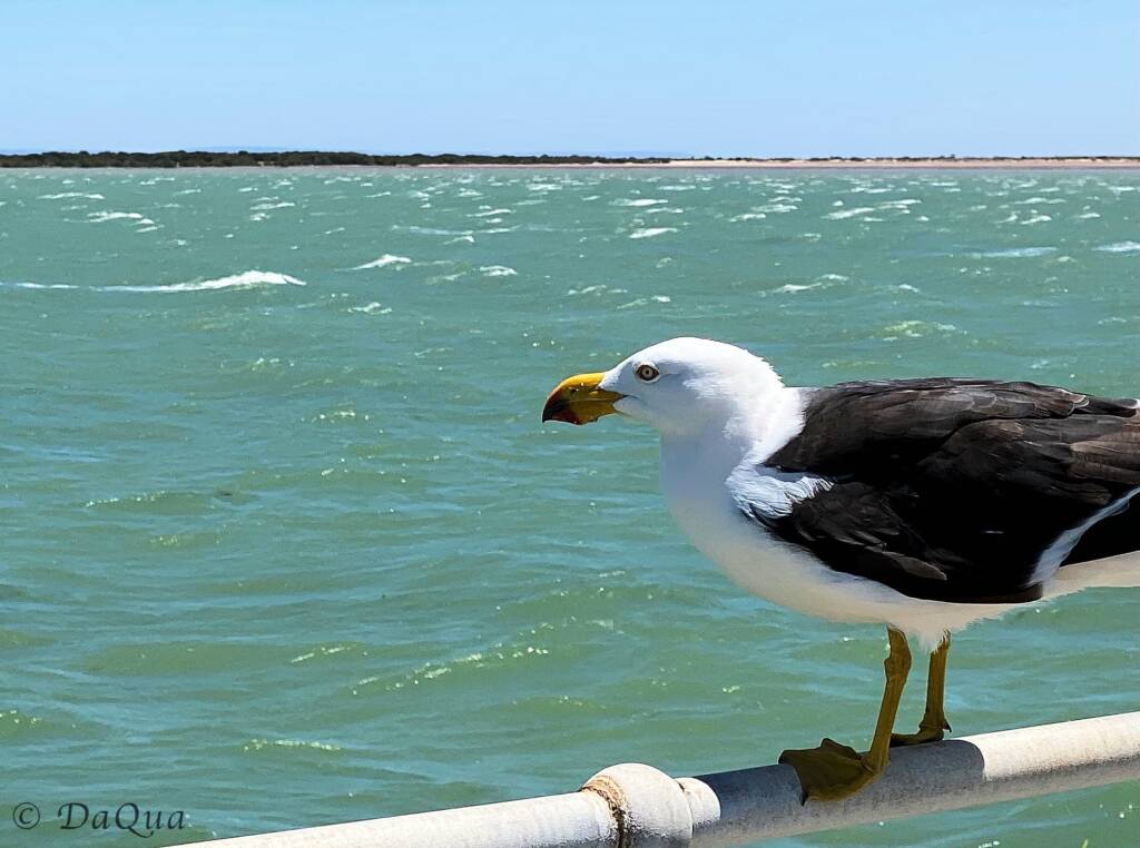Pacific Gull on the Port Germein Jetty