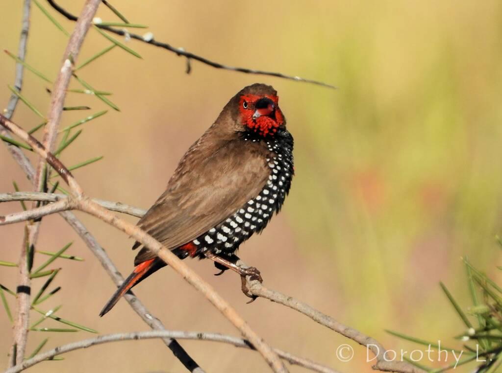 Painted Finch (Emblema pictum), Central Australia