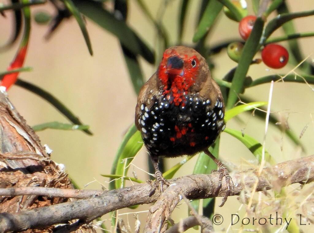 Painted Finch (Emblema pictum)
