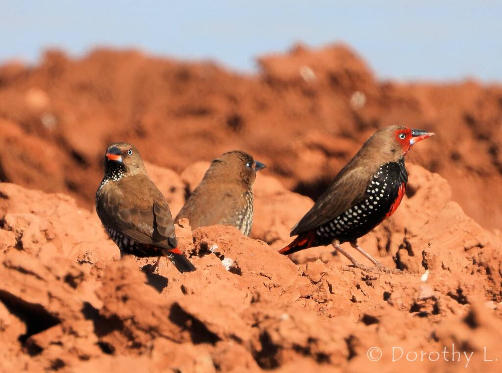 Painted Finches (Emblema pictum)
