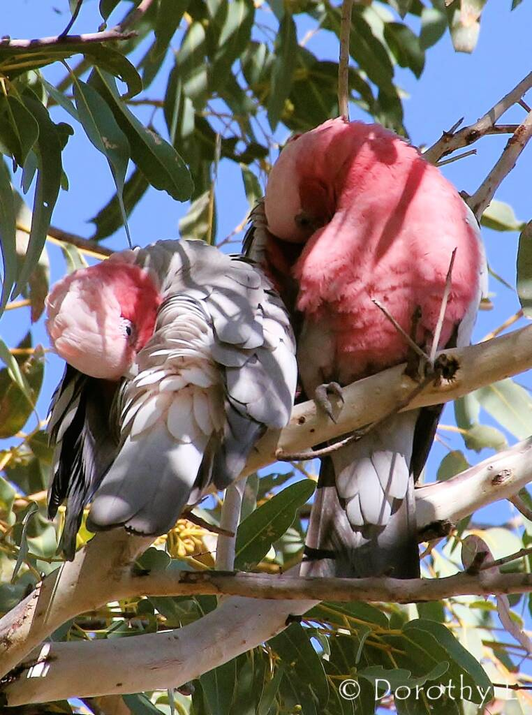 Pair of Galahs (Eolophus roseicapilla)