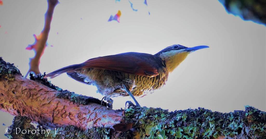 Paradise Riflebird (Lophorina paradisea)