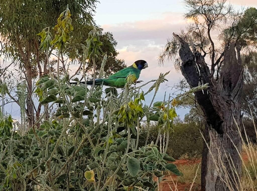 Australian Ringneck feeding on the Parrot Pea (Crotalaria cunninghamii)