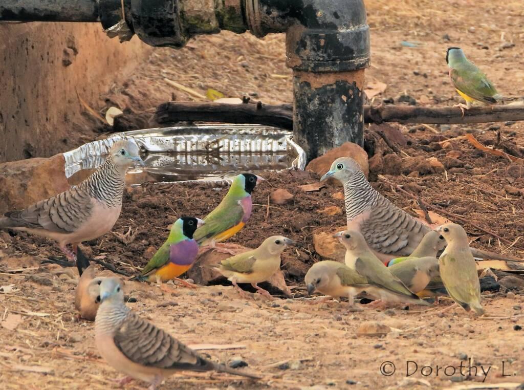 Peaceful Doves (Geopelia placida) and Gouldian Finches (Chloebia gouldiae)