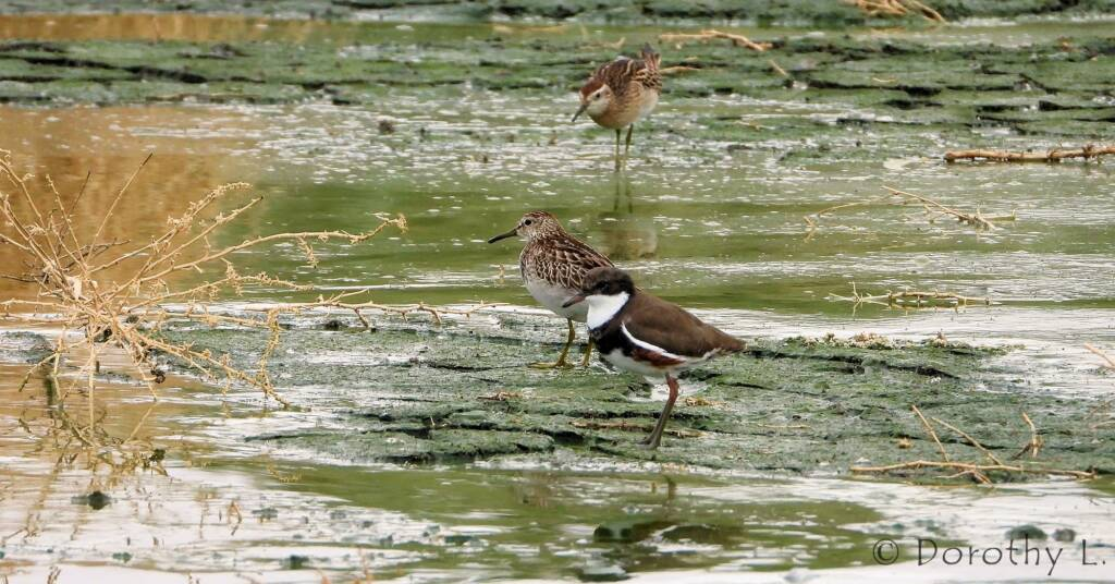 Pectoral Sandpiper and Red-kneed Dotterel