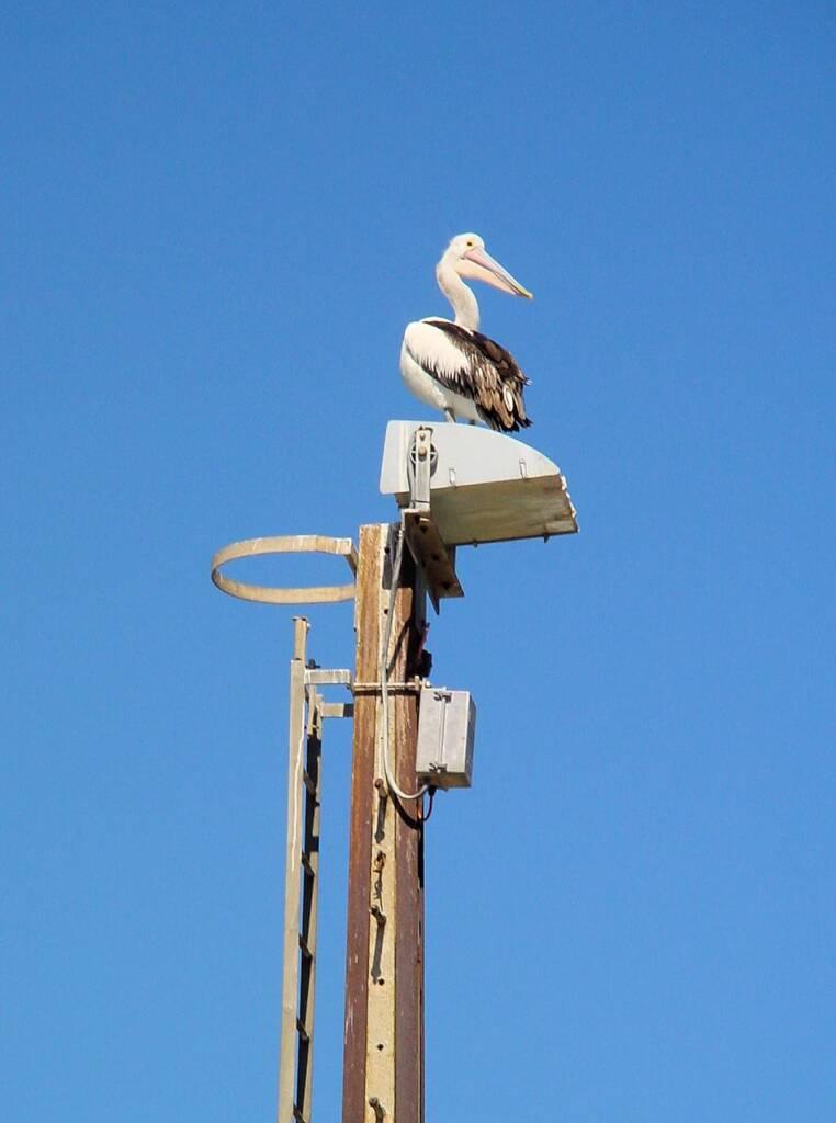 Pelican on Kangaroo Island, SA