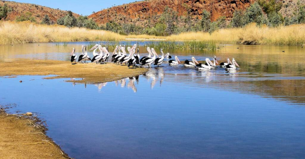 Pelicans at 2 Mile Beach, West Macdonnell Ranges, NT