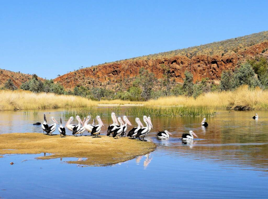 Pelicans at 2 Mile Beach, West Macdonnell Ranges