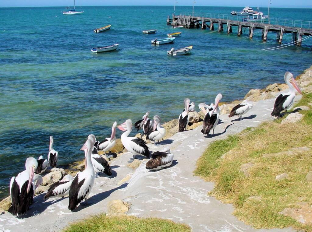 Pelicans on Kangaroo Island, SA