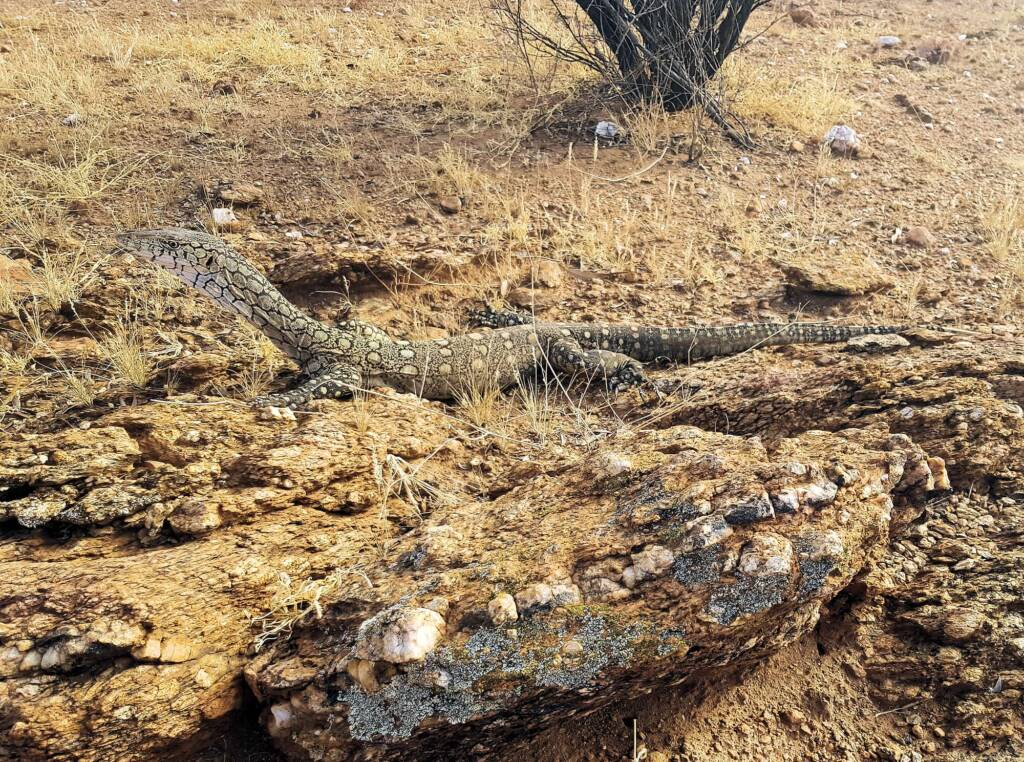 Perentie (Varanus giganteus), Alice Springs, NT