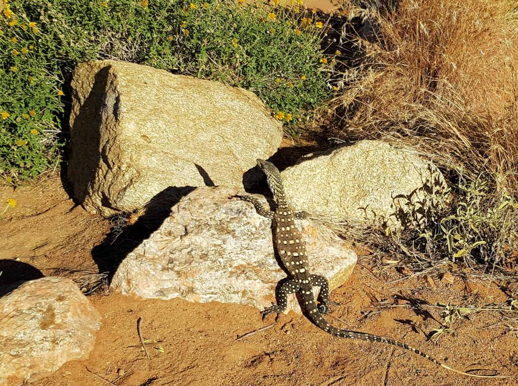 Perentie (Varanus giganteus), Alice Springs Desert Park
