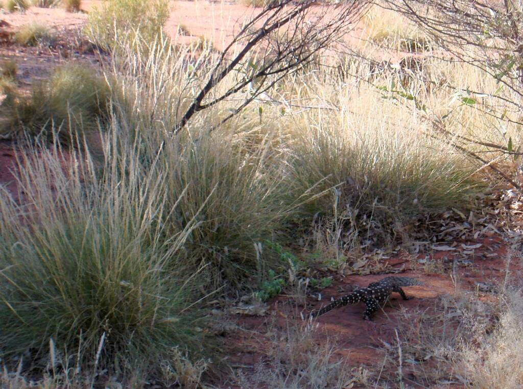Perentie (Varanus giganteus), Kings Canyon (Watarrka National Park)