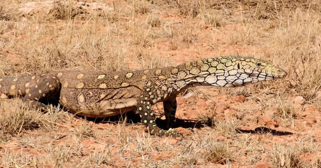 Perentie (Varanus giganteus) near Rodinga (Rodinga Siding), NT