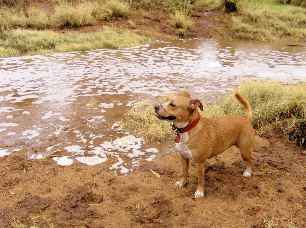 Pet dog enjoying the start of water flowing into the Todd River, Alice Springs, 7 Jan 2010