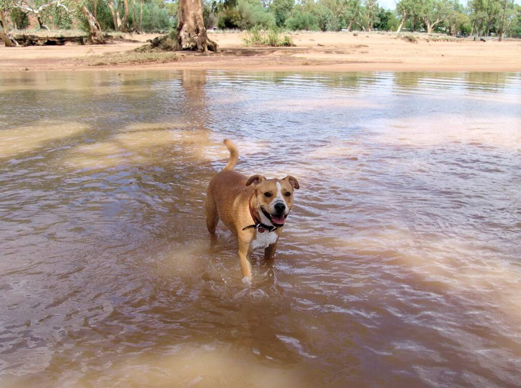 Pet dog enjoying the water flowing in the Todd River, Alice Springs, 12 Jan 2010
