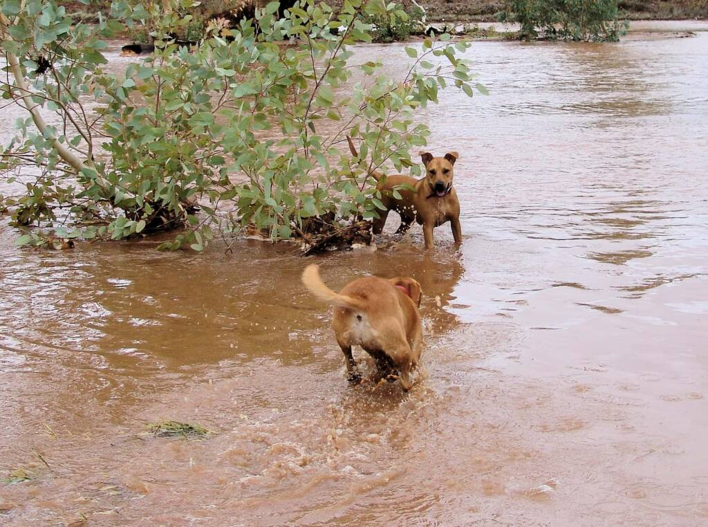 Pet dogs enjoying the water flowing in the Todd River, Alice Springs, 8 Jan 2010