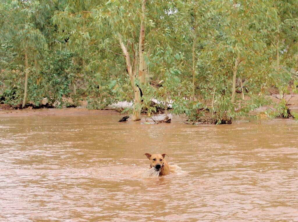 Pet dog enjoying the water flowing in the Todd River, Alice Springs, 8 Jan 2010