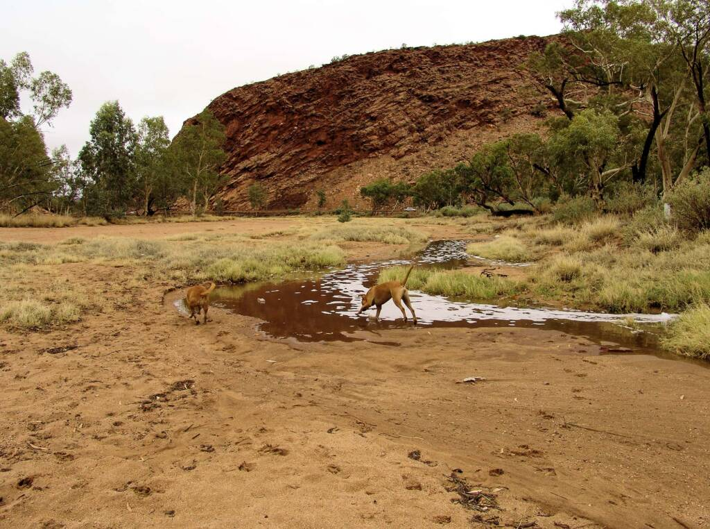 Pet dogs enjoying the start of water flowing into the Todd River, Alice Springs, 7 Jan 2010
