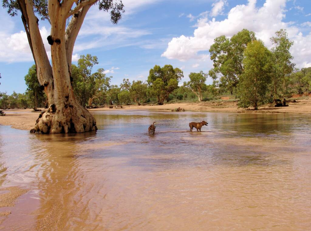 Pet dogs enjoying the water flowing in the Todd River, Alice Springs, 12 Jan 2010