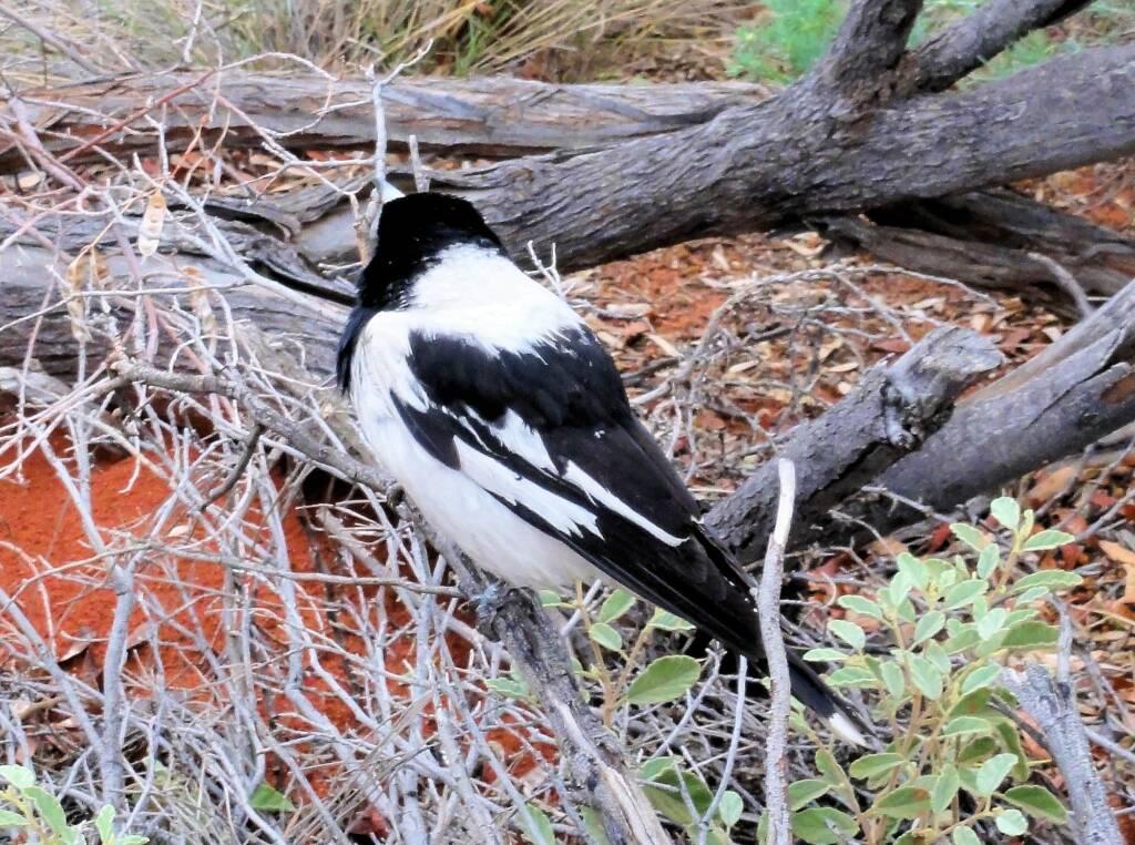 Pied Butcherbird (Cracticus nigrogularis), Palm Valley