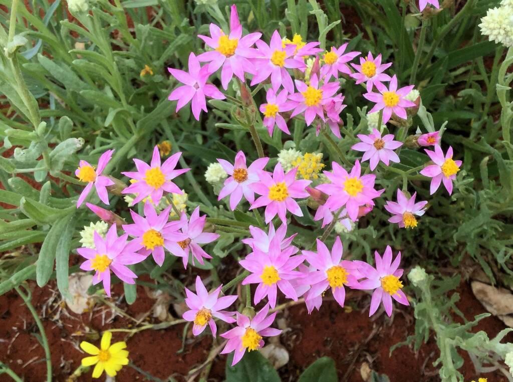 Pink Everlasting (Schoenia cassiniana), Alice Springs Desert Park
