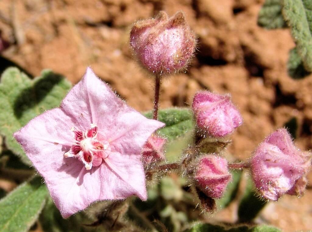 Pink Fire-bush (Commersonia magniflora), Olive Pink Botanic Garden
