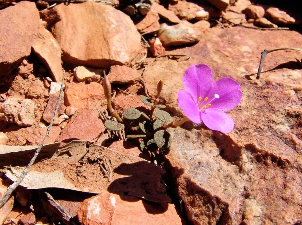Pink Rock Wort (Sedopsis filsonii)