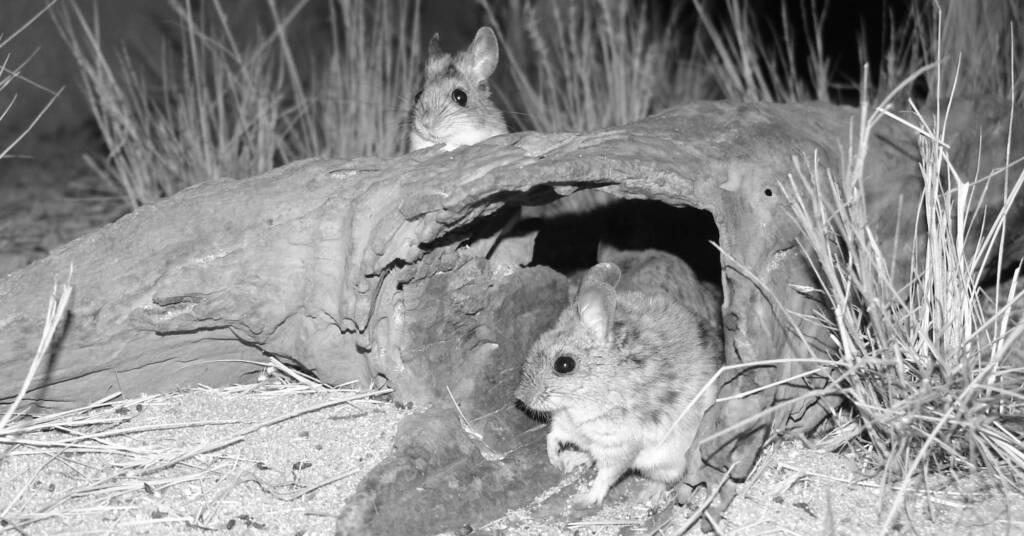 Plains Rat (Pseudomys australis), Alice Springs Desert Park