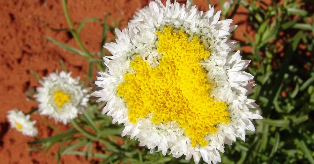 Poached Egg Daisy (Polycalymma stuartii), Alice Springs Desert Park