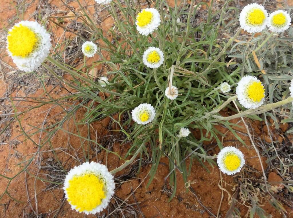 Poached Egg Daisy (Polycalymma stuartii), Binns Track, NT