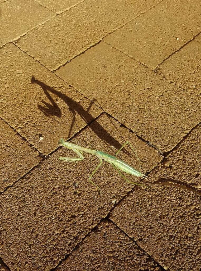 Preying Mantis, Alice Springs, NT