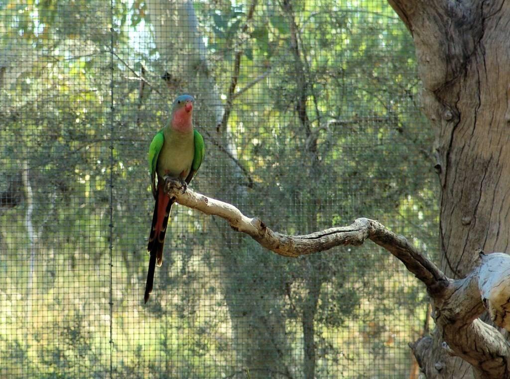 Princess Parrot (Polytelis alexandrae)