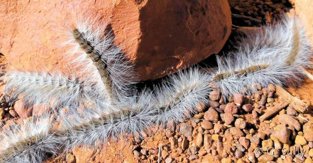 Processionary Caterpillar (Ochrogaster lunifer)