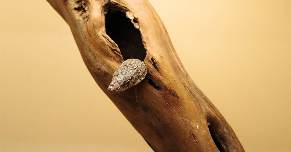 Pygmy Mulga Goanna (Varanus gilleni)