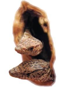 The Pygmy Mulga Goanna (Varanus gilleni)