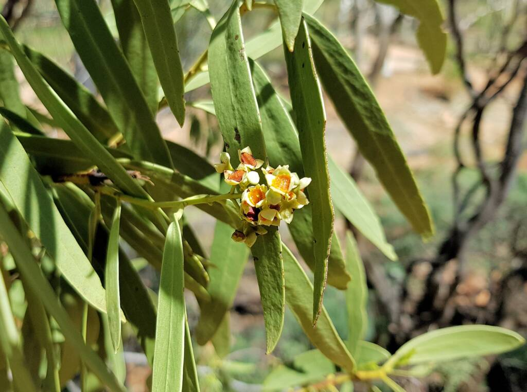 Quandong (Santalum acuminatum), Alice Springs Desert Park