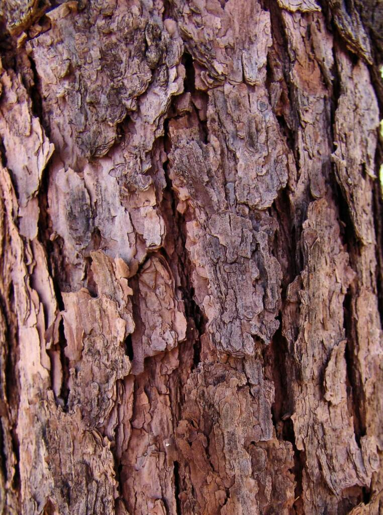Bark of the Quandong (Santalum acuminatum)