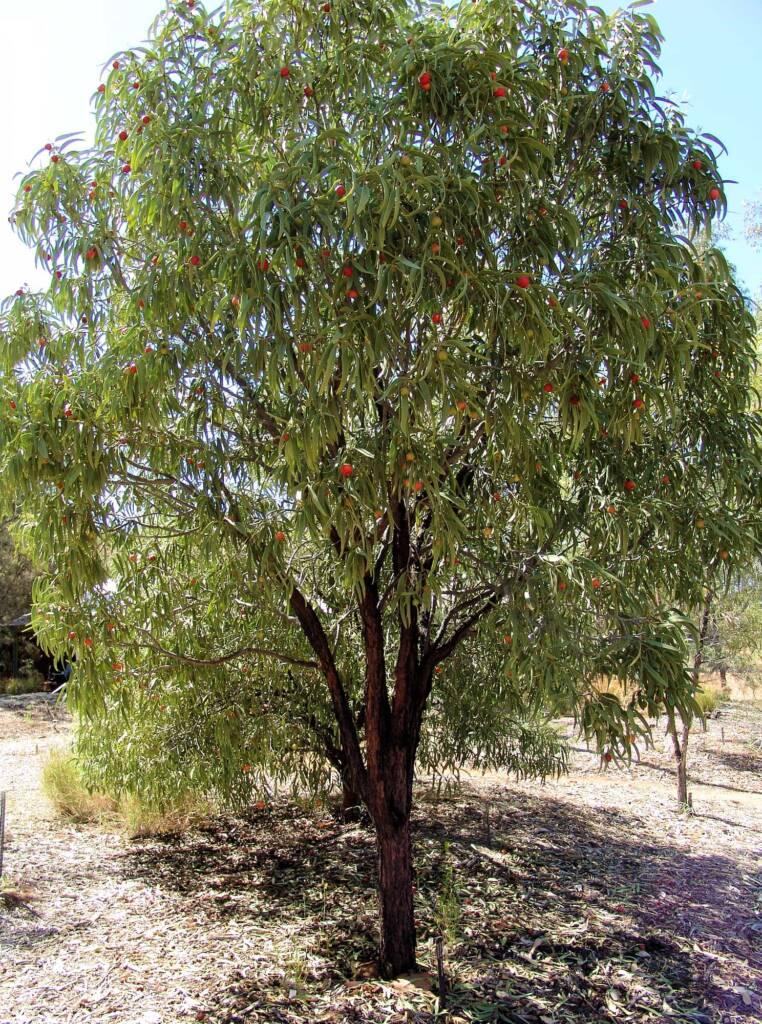 Quandong tree (Santalum acuminatum)