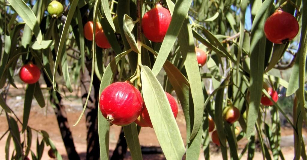 Quandong (Santalum acuminatum)