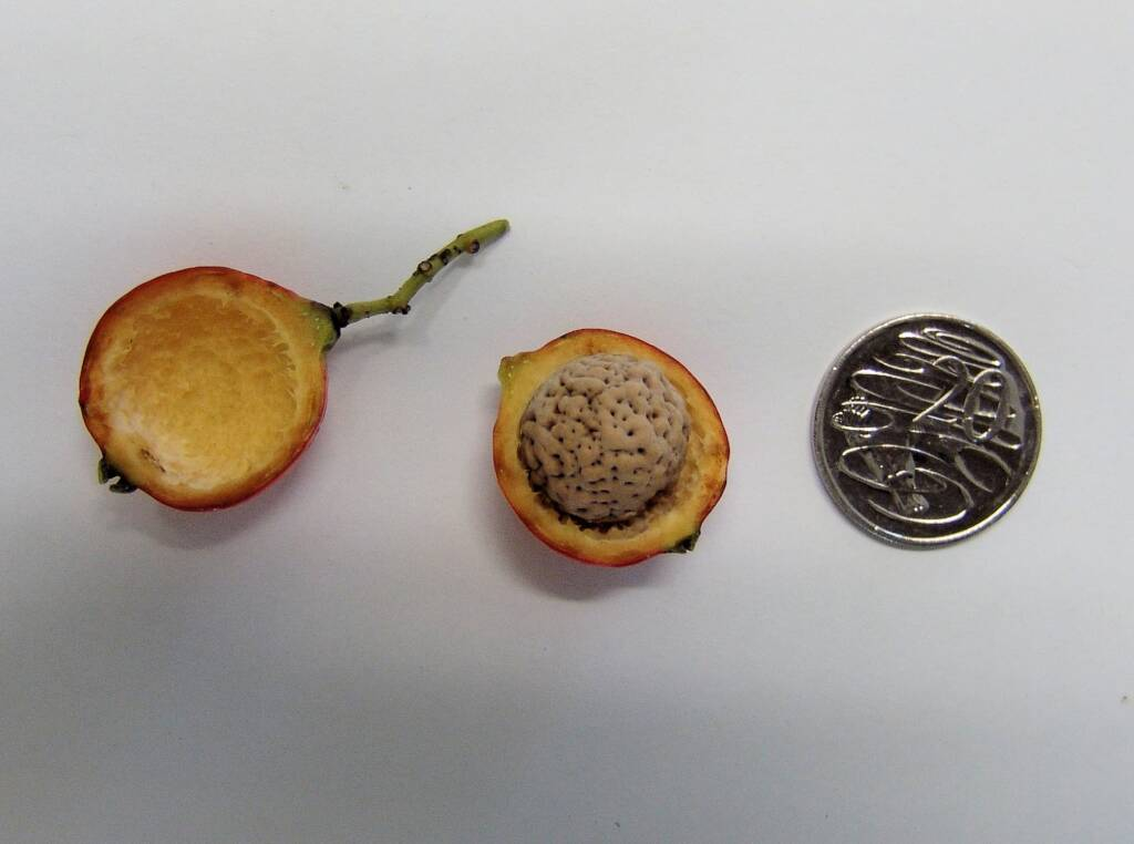 Quandong fruit and seed measured against 20 cent coin