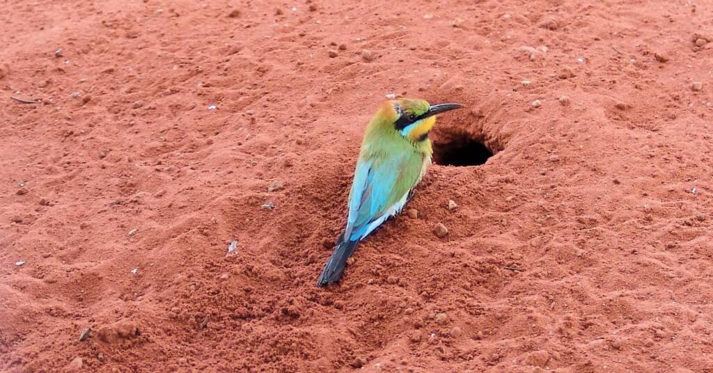 Rainbow Bee-eater (Merops ornatus), Alice Springs Desert Park