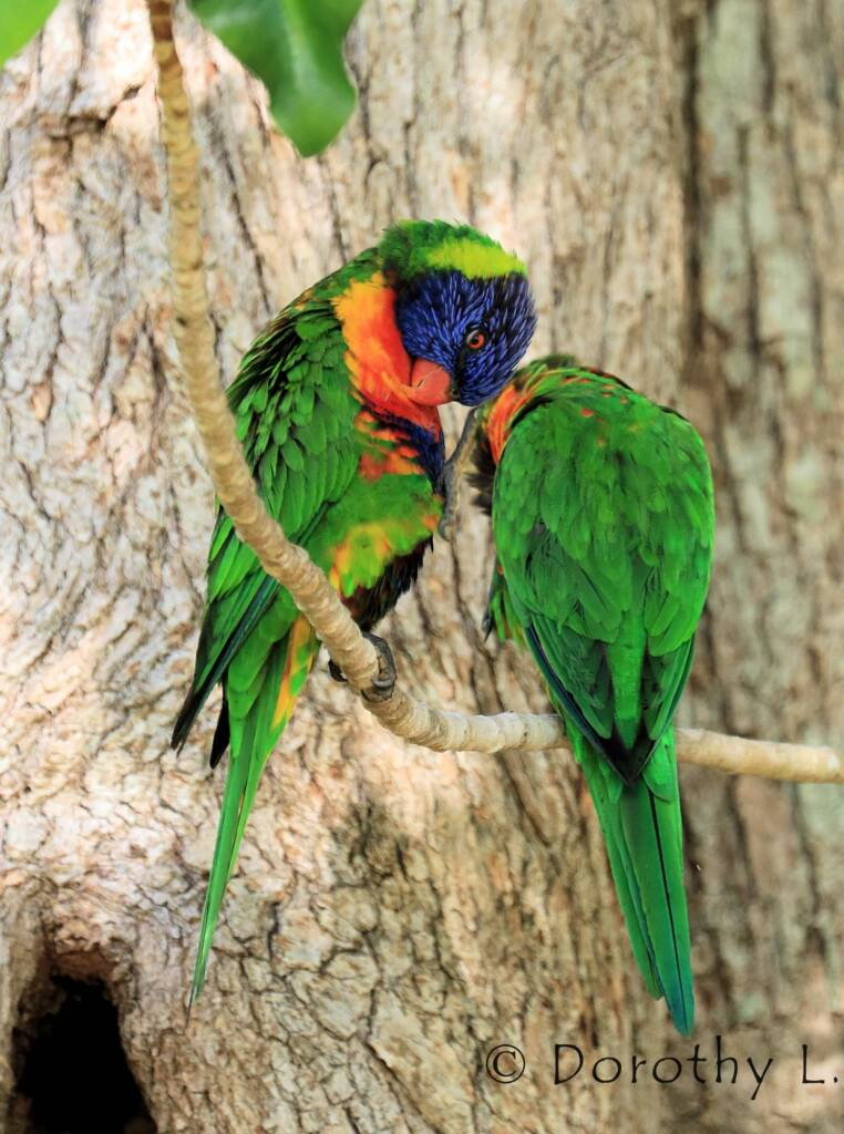 Rainbow Lorikeets (Trichoglossus moluccanus)