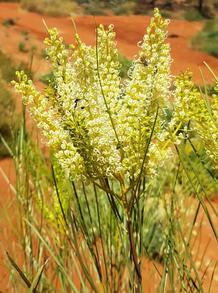 Rattlepod grevillea (Grevillea stenobotrya)