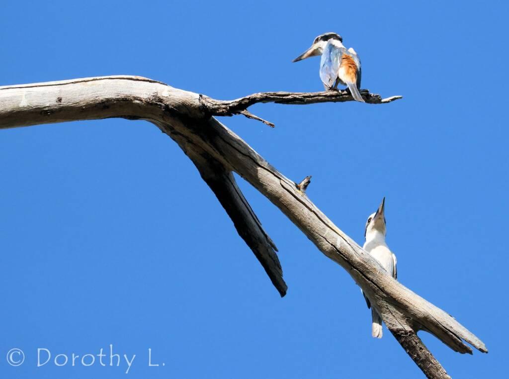 Red-backed Kingfisher (Todiramphus pyrrhopygius)