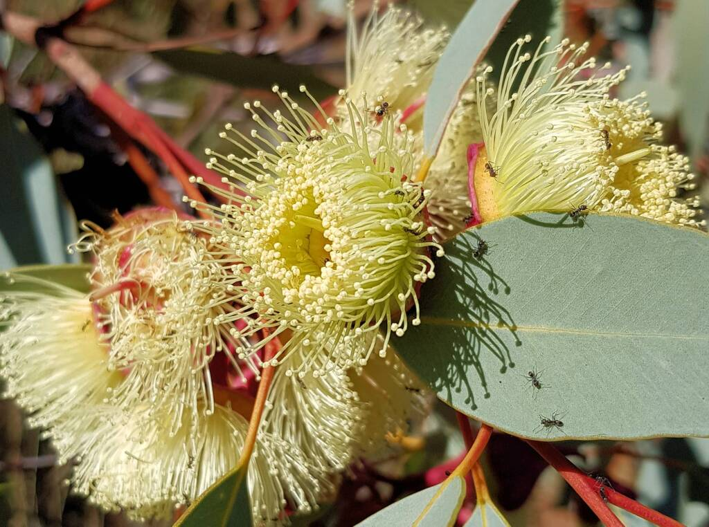 Red-bud Mallee (Eucalyptus pachyphylla), Central Australia, NT