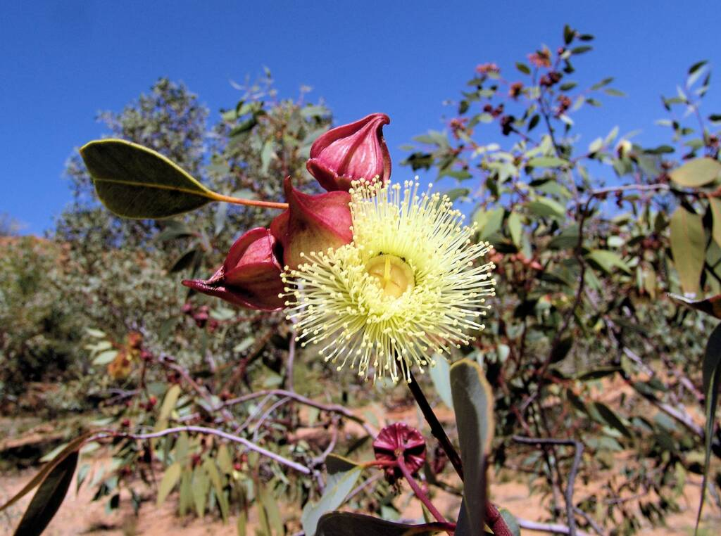 Red-Bud Mallee (Eucalyptus pachyphylla), Olive Pink Botanic Garden
