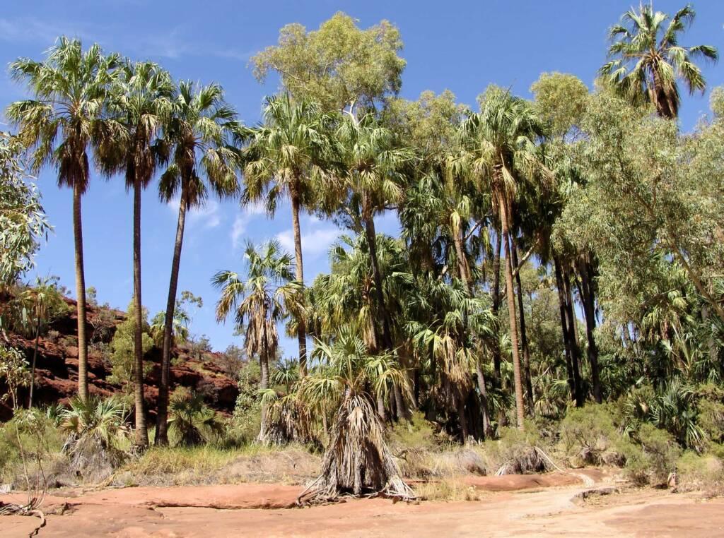 Red Cabbage Palm (Livistona mariae), Palm Valley