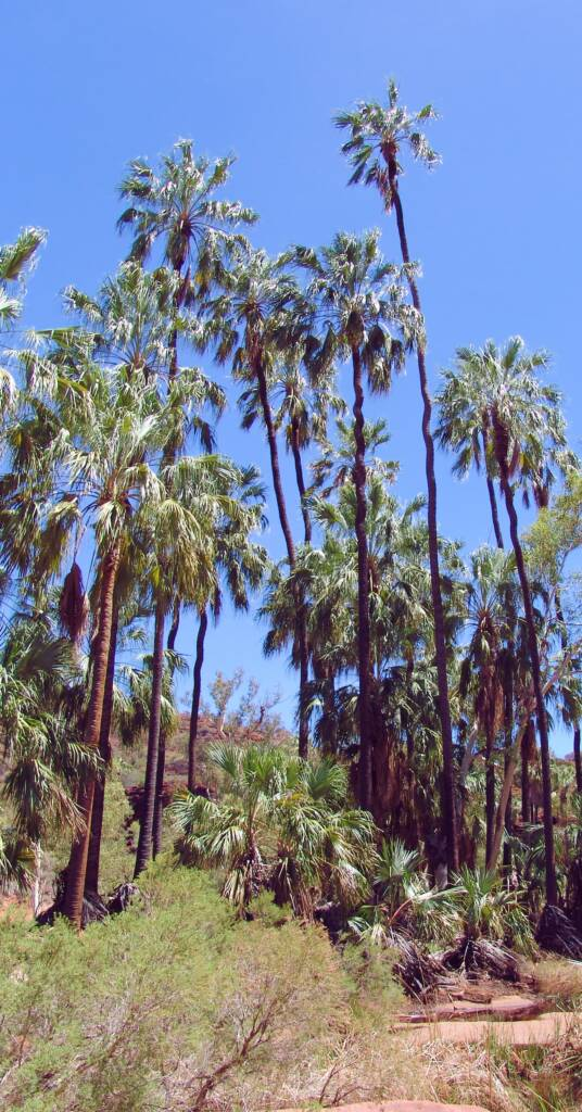 Red Cabbage Palms, located in Palm Valley, Finke Gorge National Park / West MacDonnell Range