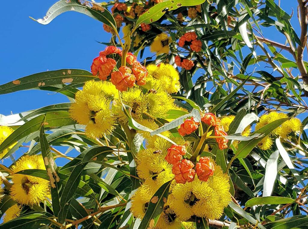 Red-capped Gum (Eucalyptus erythrocorys)